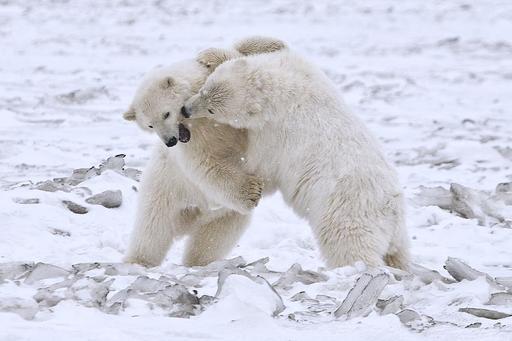 Jeux d'oursons polaires