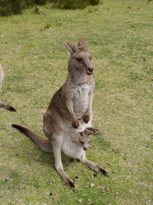 Kangourou avec un bébé dans la poche