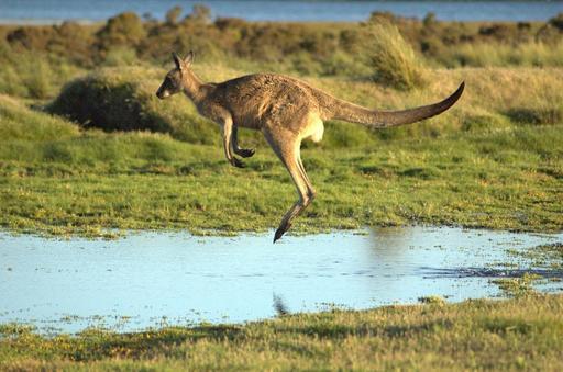 Kangourou en plein saut