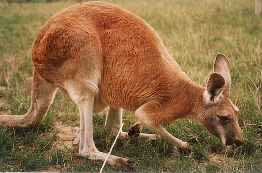 Kangourou roux australien