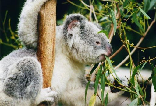 Koala d'Australie
