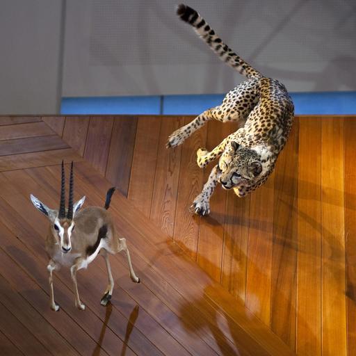 La gazelle et le guépard