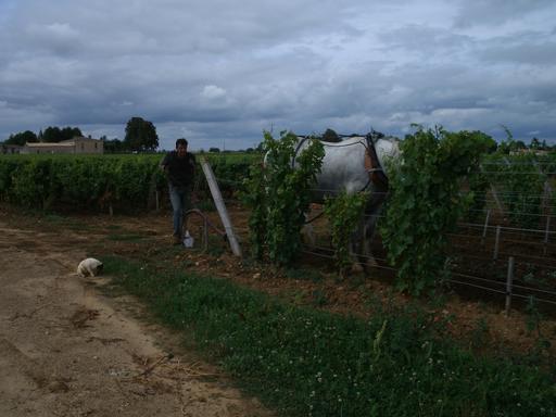 Labour dans les vignes du Sauternais en août
