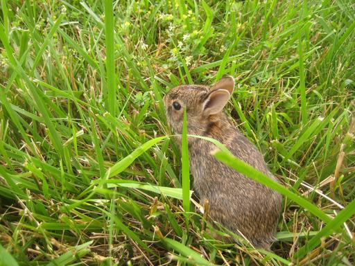 Lapereau guettant dans l'herbe