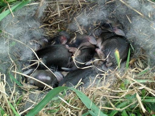 Lapereaux dans leur nid
