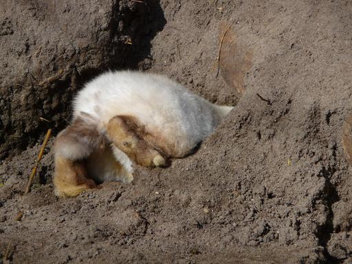 Lapin creusant son terrier
