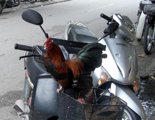 Le coq et le scooter au Vietnam