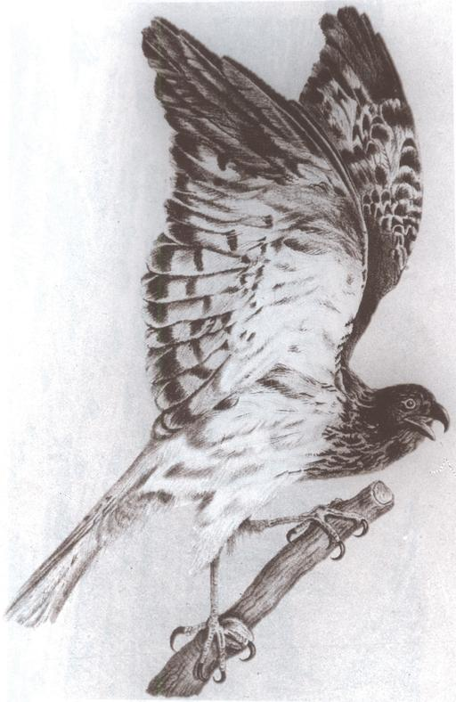 Le papangue mâle, ailes déployées