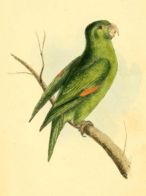 Le perroquet de Cayenne