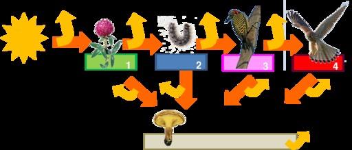 Le réseau trophique dans la chaîne alimentaire