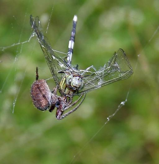 Libellule mangée par une araignée