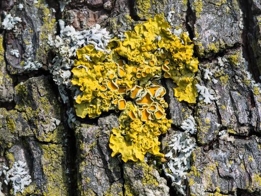 Lichen encroutant jaune