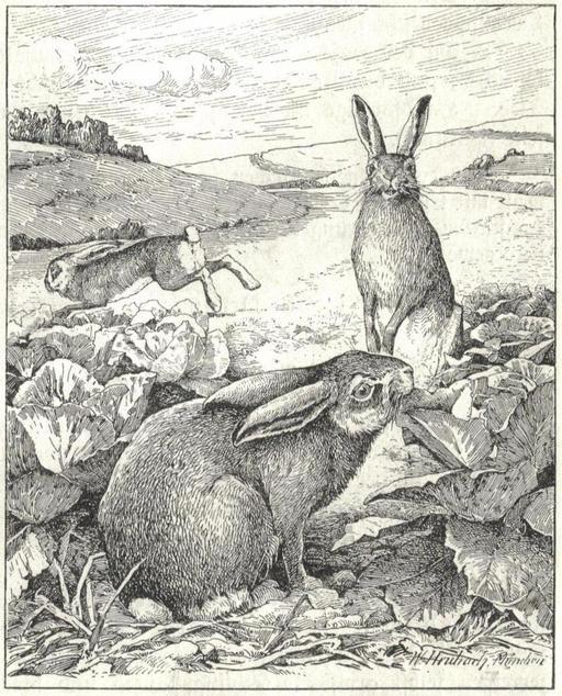 Lièvres et lapins au potager