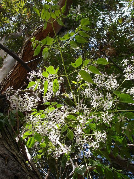 Lilas de Perse à La Réunion