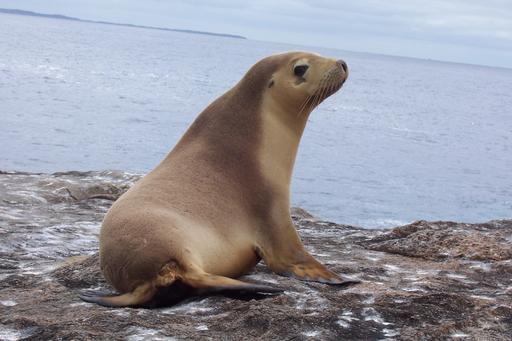 Lion de mer en Australie