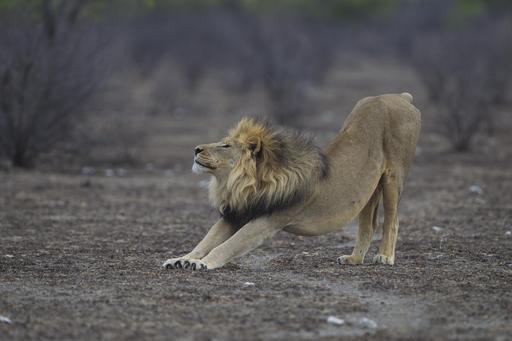 Lion en train de s'étirer