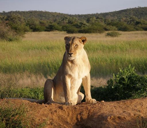Lionne en Namibie