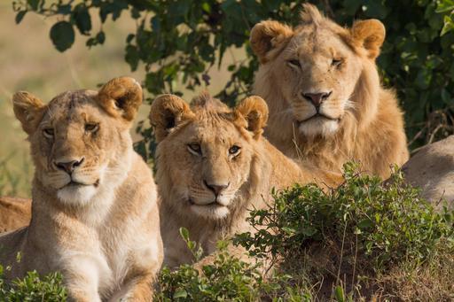 Lionne et deux lions le matin
