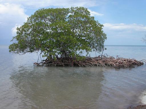 Mangrove à Cayo Levisa, Cuba