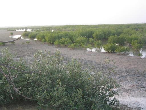 Mangrove à marée basse au Sénégal