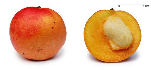 Mangue et coupe