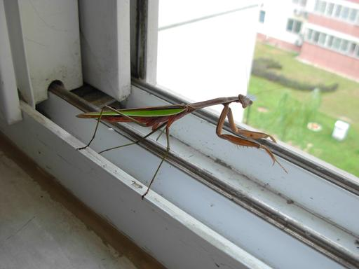 Mante religieuse à la fenêtre