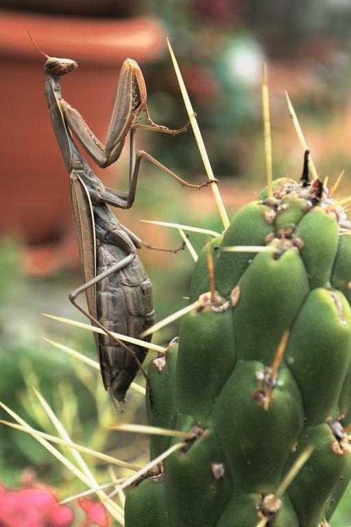 Mante religieuse accrochée à un cactus