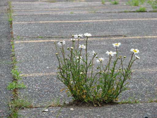 Marguerites fleurissant au travers du béton