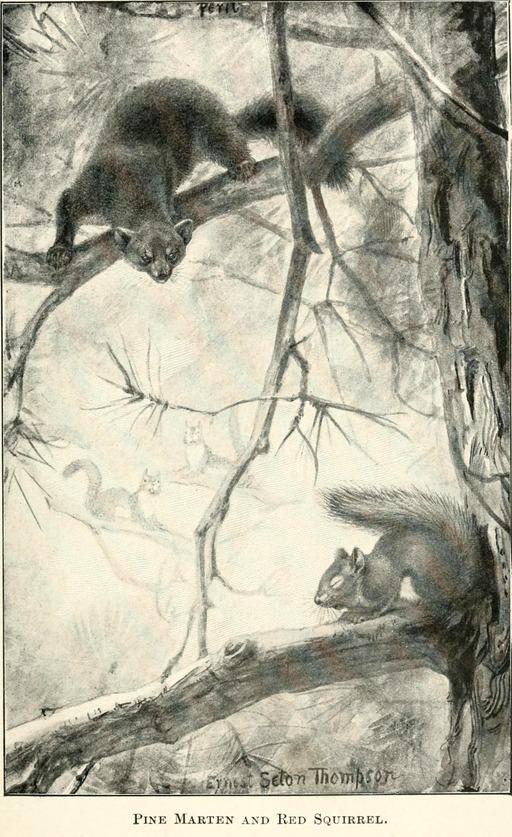 Martre et écureuil roux dans un arbre