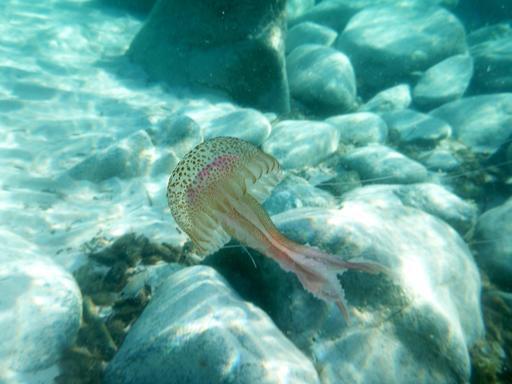 Méduse en Corse