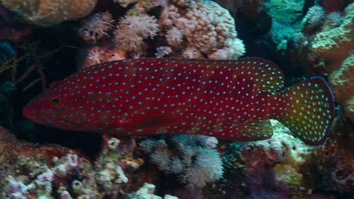 Mérou de Mer Rouge