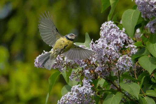 Mésange bleue en vol près d'un lilas en fleur