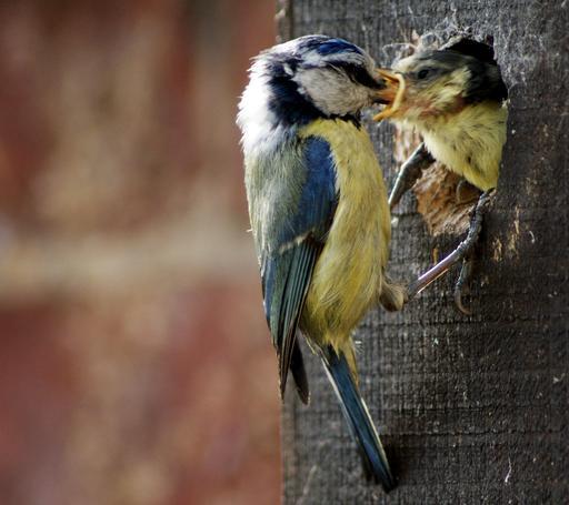 Mésange bleue nourrissant son petit