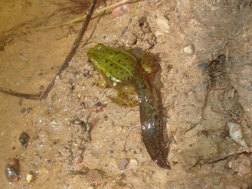 Métamorphose de grenouille verte