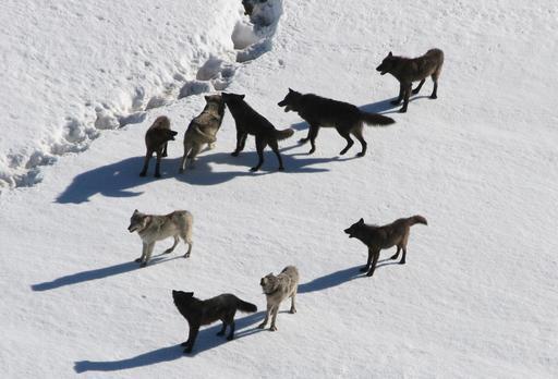 Meute de loups en hiver