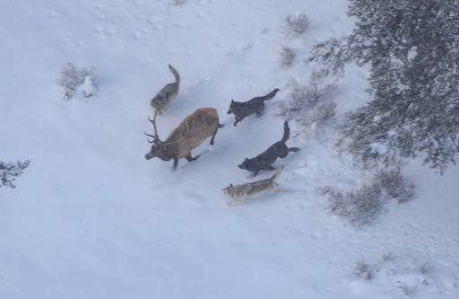 Meute de loups poursuivant un élan