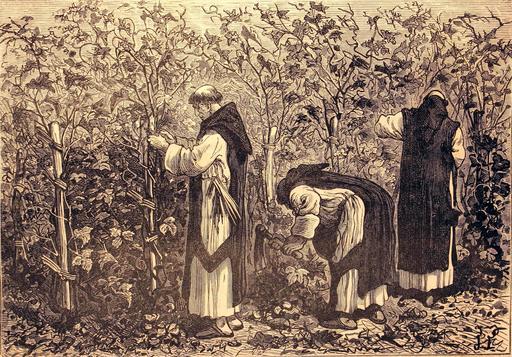 Moines cultivant la vigne
