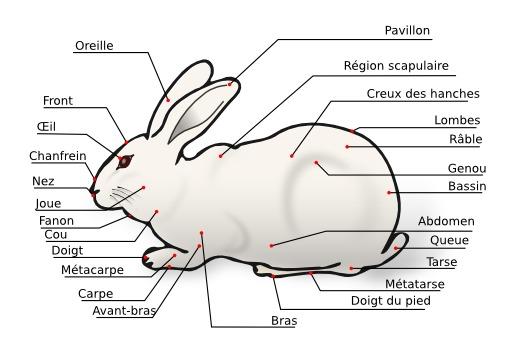 Morphologie du lapin domestique