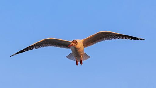 Mouette à tête brune en vol
