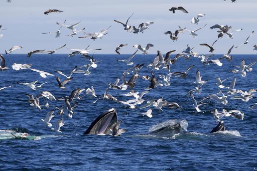 Mouettes et baleines près du Cap Cod
