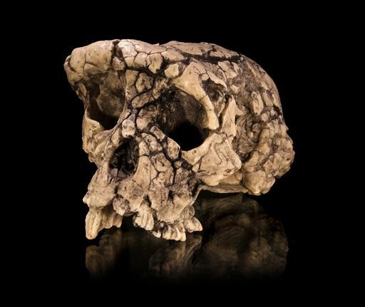 Moulage du crâne fossile de Toumaï