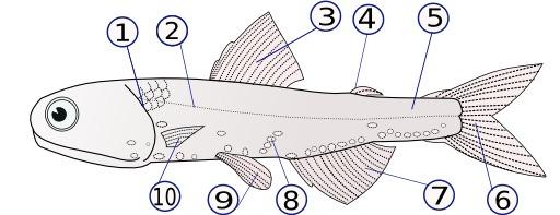 Nageoires d'un poisson