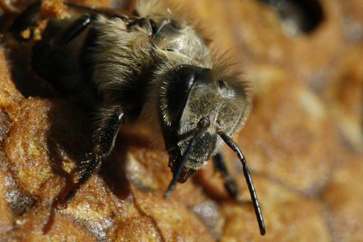 Naissance d'une abeille noire - 06