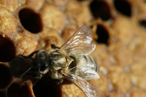 Naissance d'une abeille noire - 08