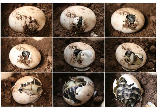 Naissance d'une tortue d'Hermann