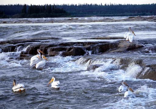 Neufs pélicans blancs dans les rapides