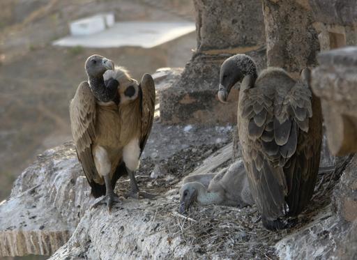 Nid de vautours