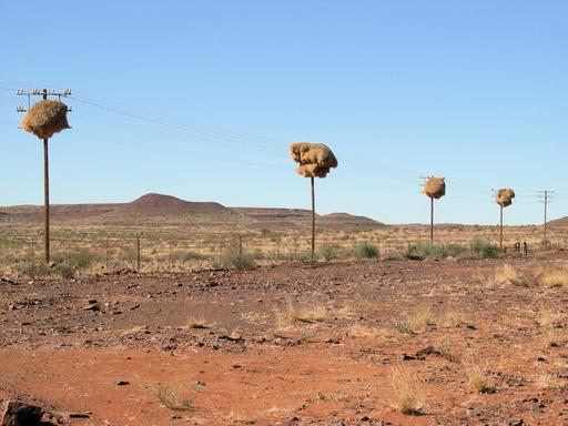 Nids collectifs de passereaux dans le désert
