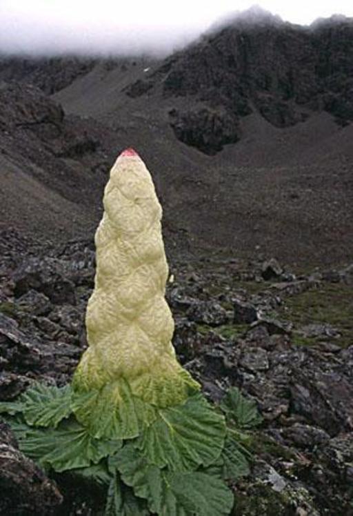 Noble rhubarbe
