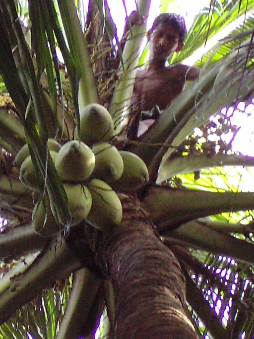 Noix de coco dans l'arbre